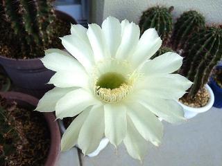 170821_4825 今朝の子サボテンの花VGA