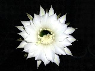 170821_4829 今夜開いた残り1輪の子サボテンの花VGA