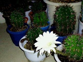 170916_4866 昨夜開いた子サボテンの花がまだ保っていましたVGA