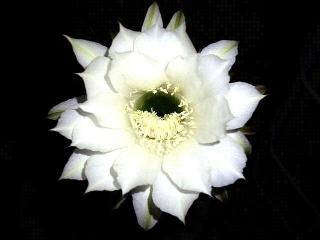 170916_4864 今夜開いた親サボテンの花・正面VGA