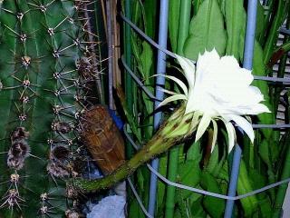 170916_4865 今夜開いた親サボテンの花・横からVGA