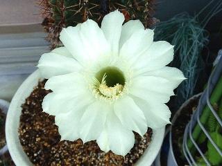 170917_4867 今朝の親サボテンの花VGA