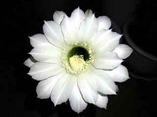170920_4875 今夜開いたサボテンの花zoomVGA