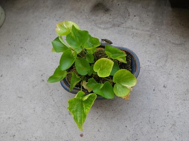スミレの盆栽にクサギカメムシ