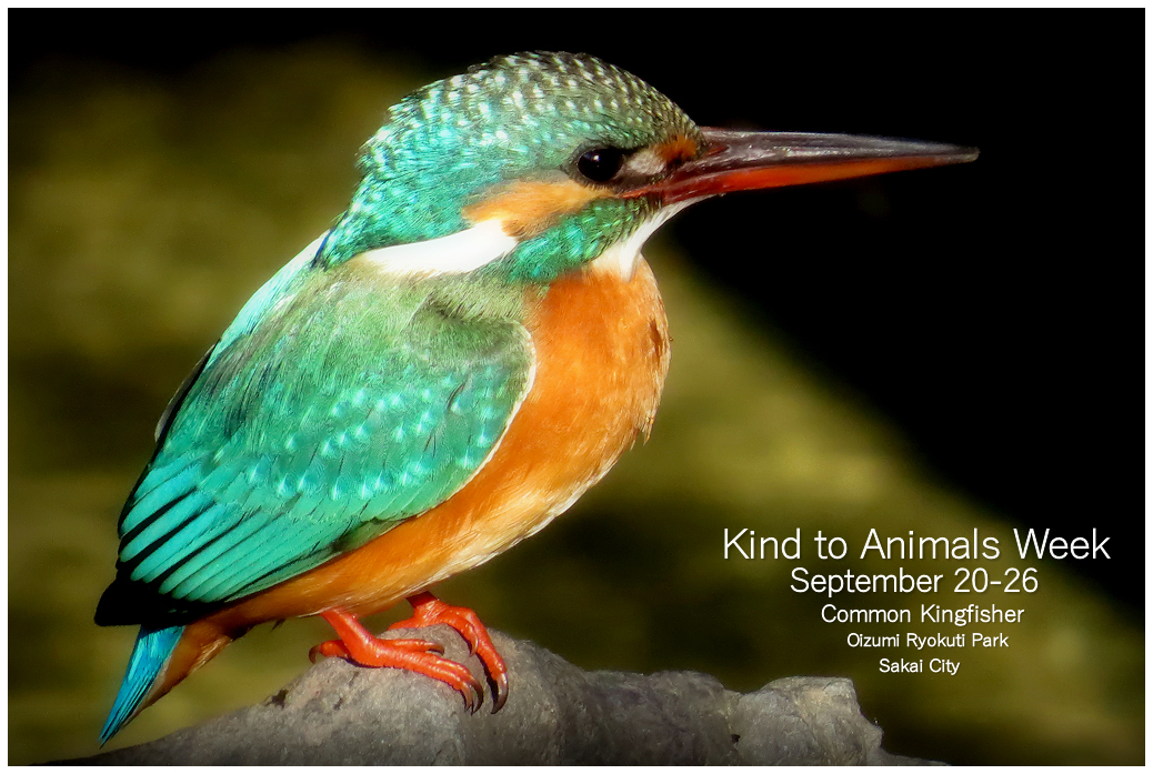 Common Kingfisher:Kind to Animals Week