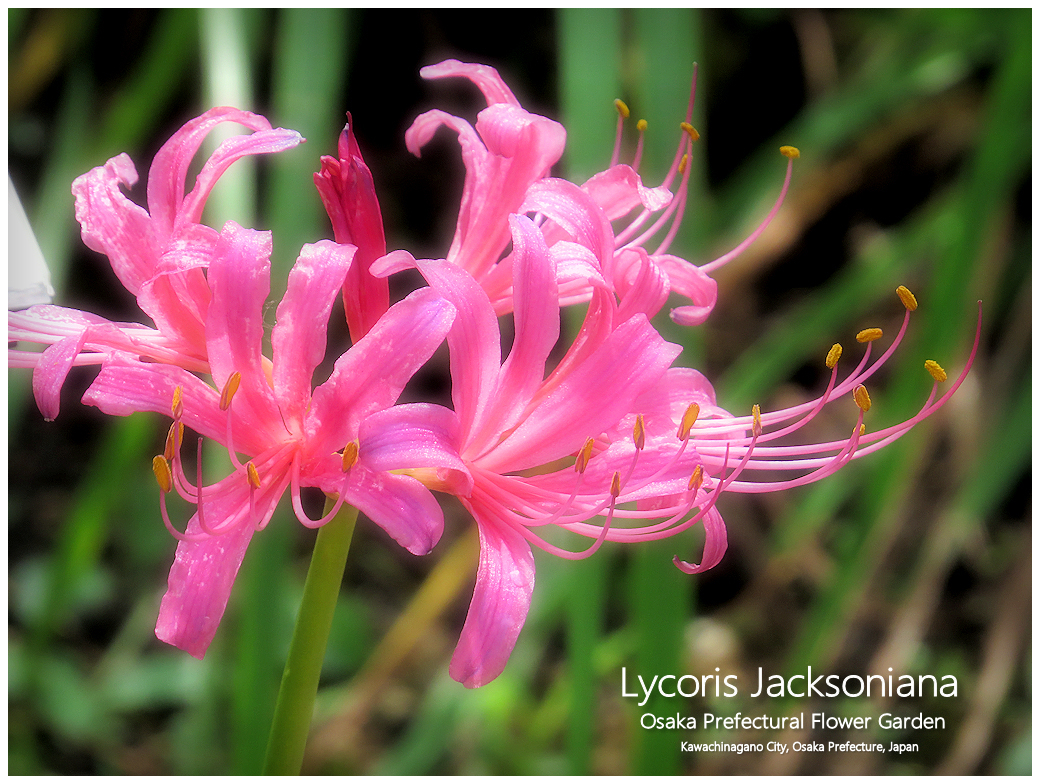 Lycoris Jacksoniana
