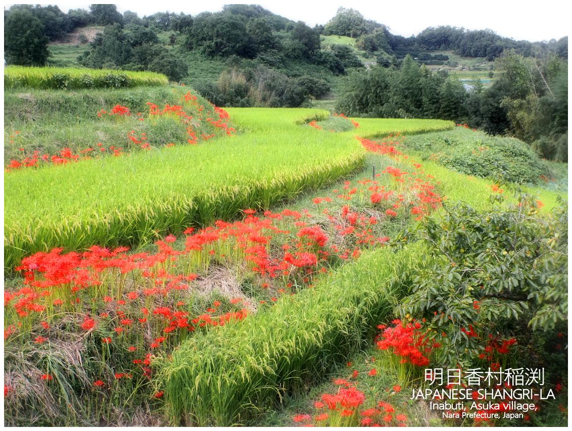 奈良県明日香村稲渕(Red spider lily)Asuka village, Nara Prefecture, Japan