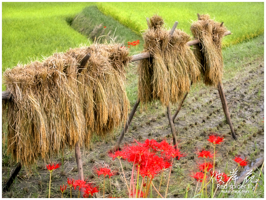 奈良県明日香村阪田(Red spider lily)Asuka village, Nara Prefecture, Japan
