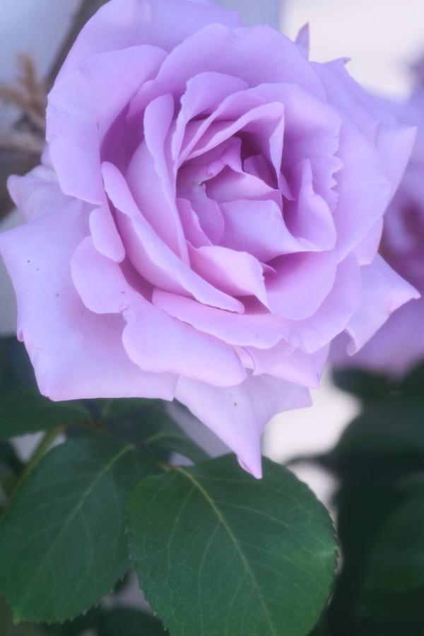 Rosa Climbing Blue Moon