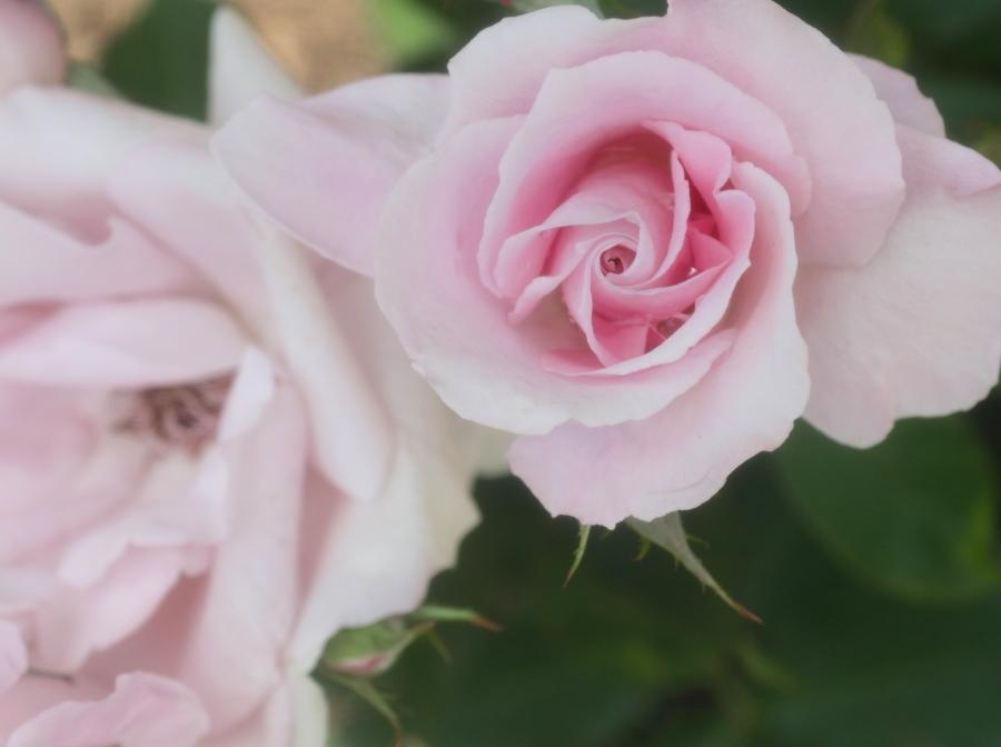 Rosa'Soshun'