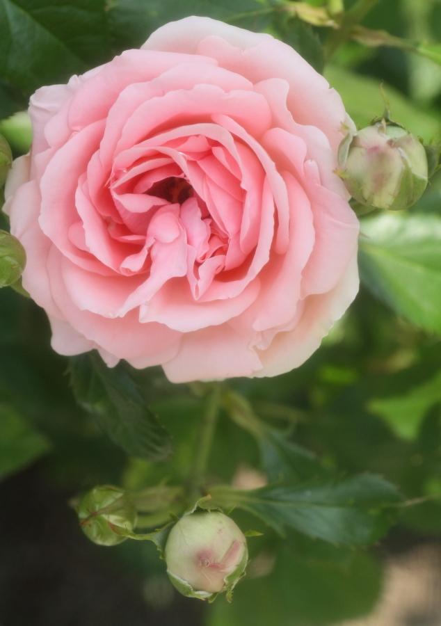 Rosa 'Kimono'