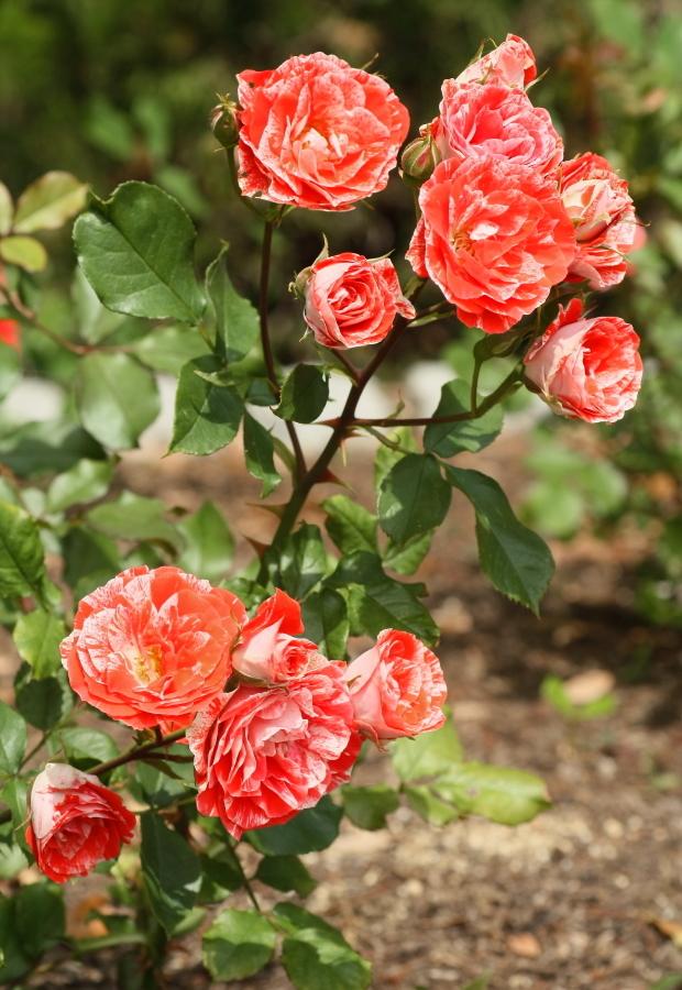 Rosa Tiger Tail