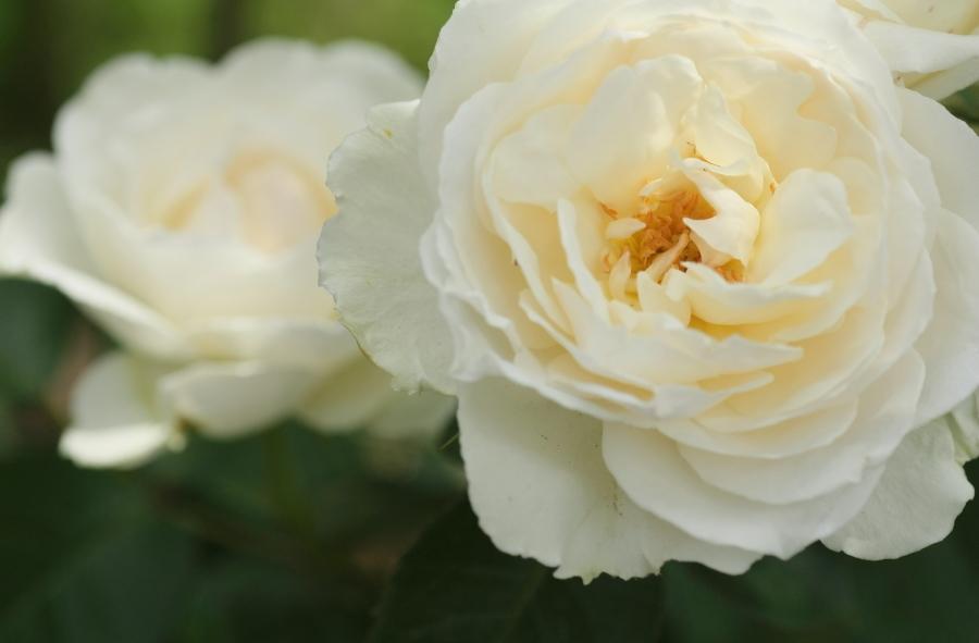 Rosa Princess of Wales