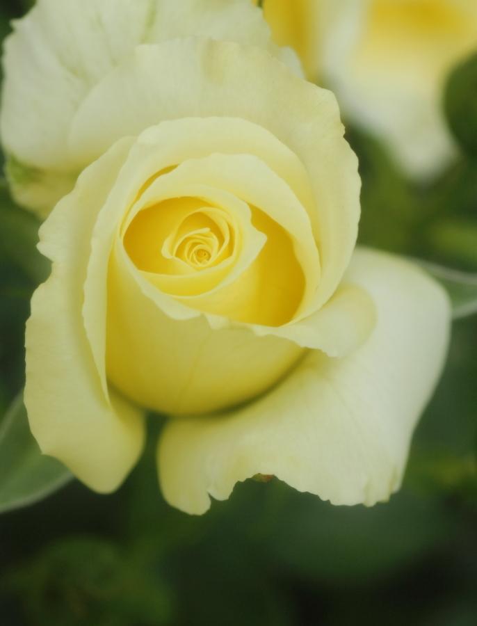 Rosa Helmut Schmidt
