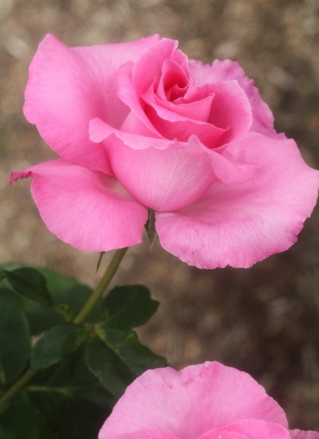 Rosa The McCartney Rose