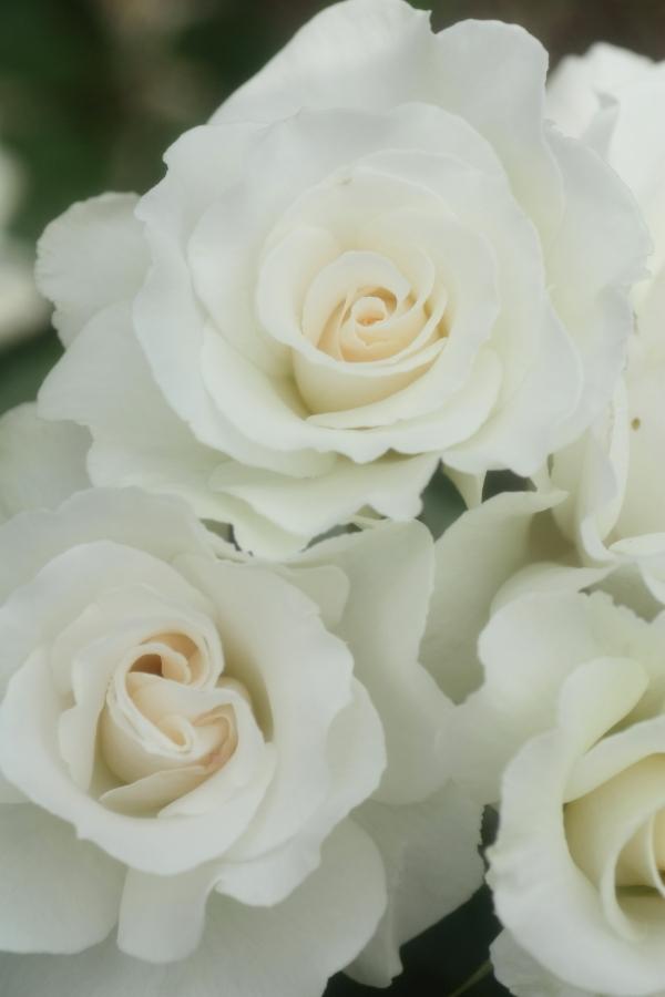 Rosa Margaret Merril