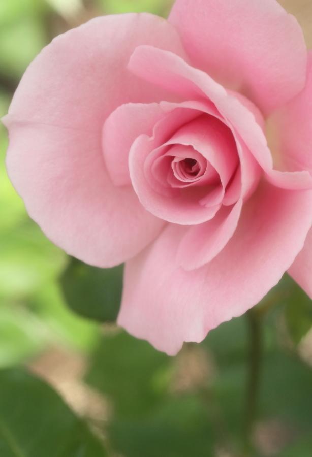 Rosa'Sakuragai'