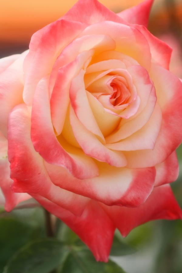 Rosa Elegant Lady