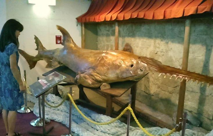 ノコギリザメの標本