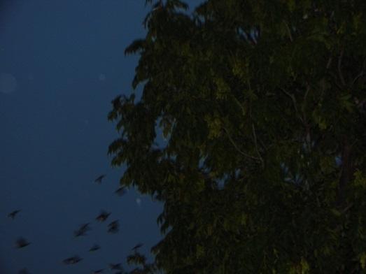 樹 コムムドリ