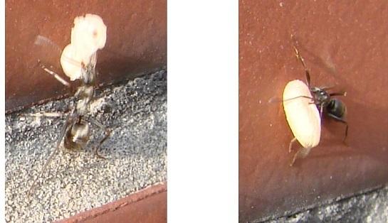 蟻の幼虫とサナギ