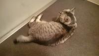 床に身体をつけるネコ