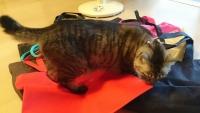 不織布の袋に乗るネコ