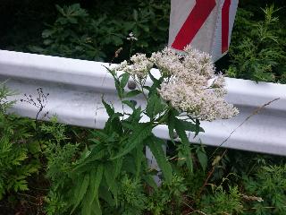 オオヒヨドリ花