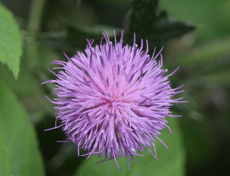 アザミの花 29.7.21