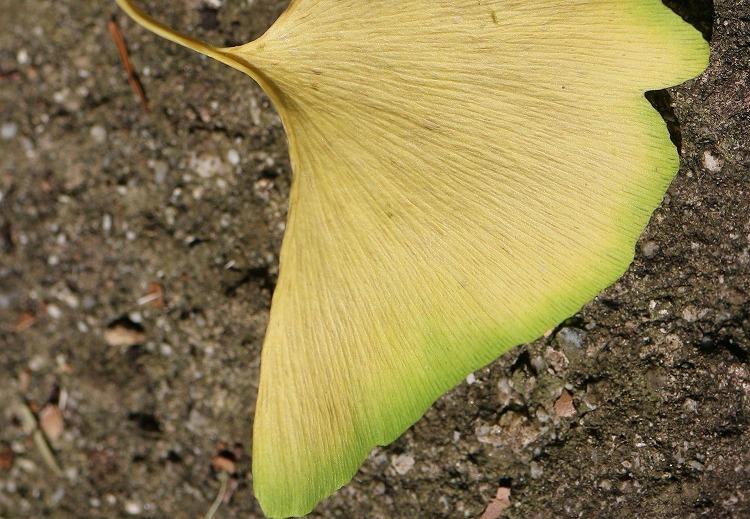 i銀杏の黄色い葉 29.7.22