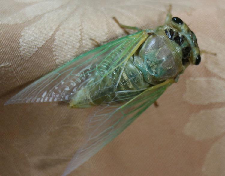 翅が青緑のセミ 29.7.27