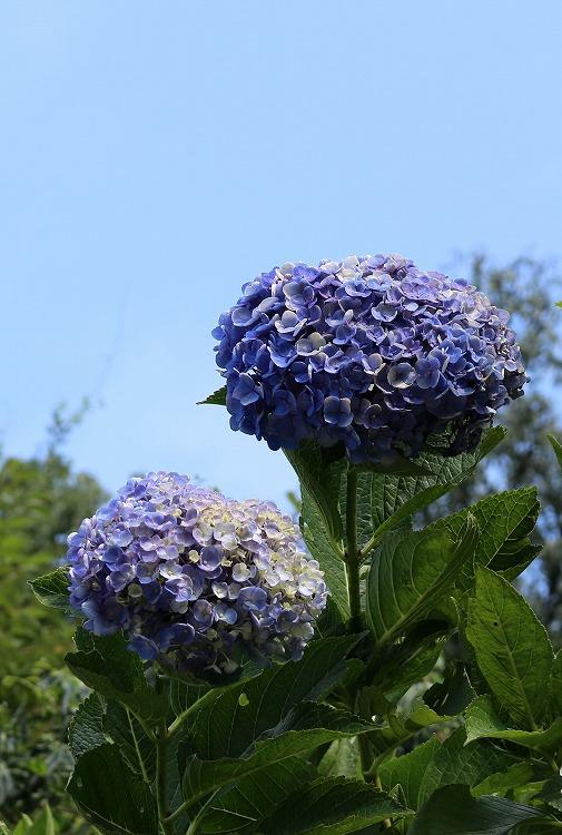 紫雲出山 紫陽花 キレイ 29.8.8