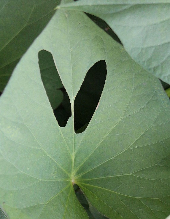 さつま芋の葉 虫食い 29.8.23