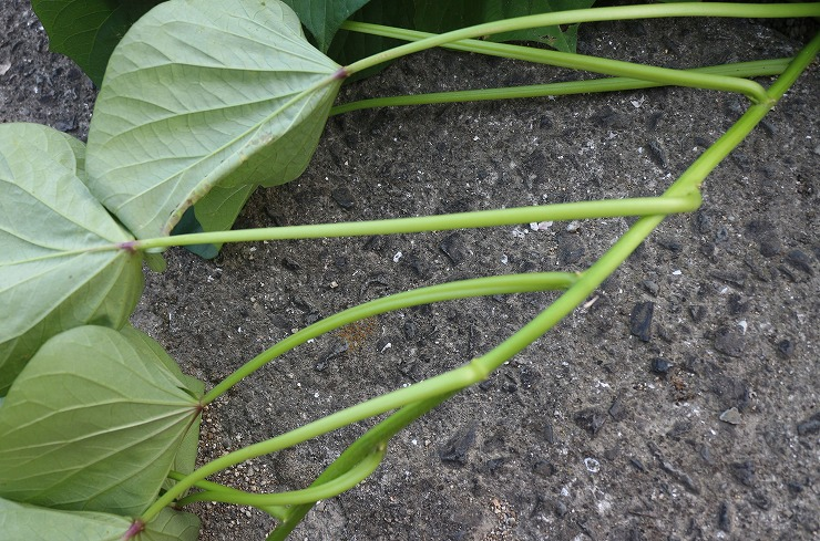 さつま芋の葉の軸 29.8.23