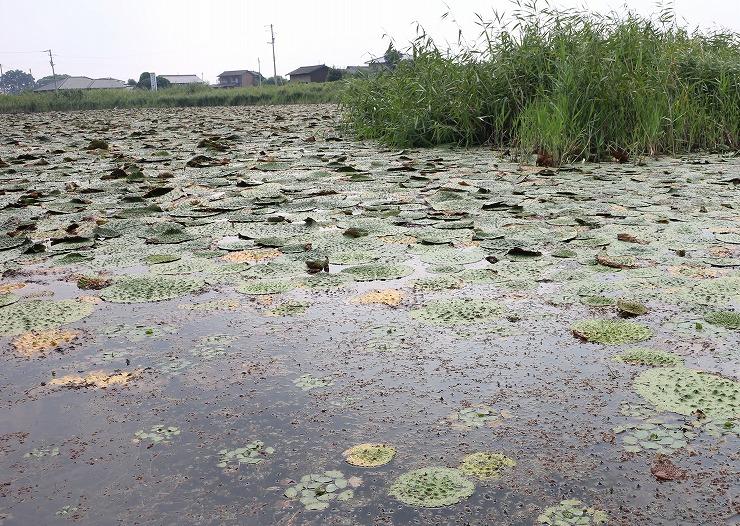 オニバスのある池 29 8 29