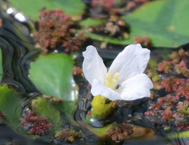 ヒシの花が咲いて 29 8 29