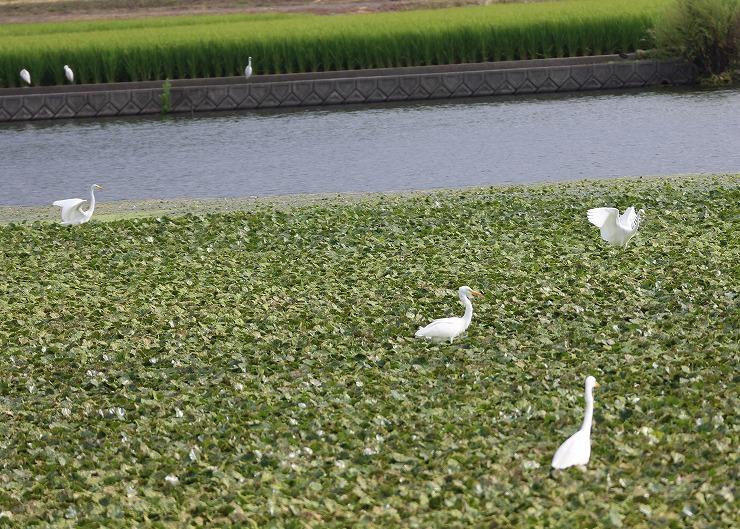 オツノ池にサギが来て 29 9 7 6