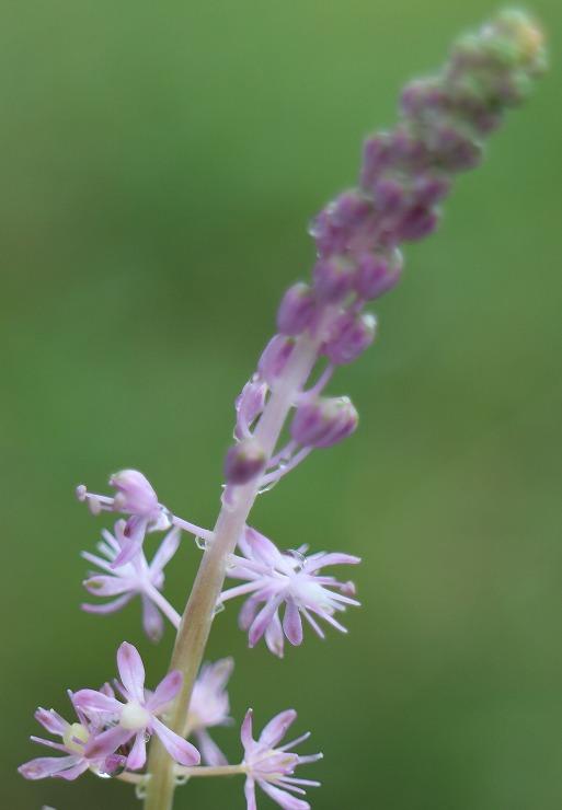 ツルボの花 29 9 12