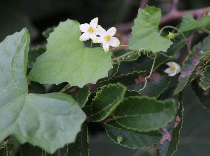 雀瓜の花 ボケてますが 爺神山 29 9 14