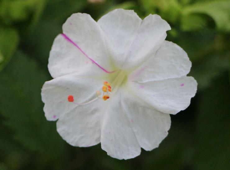 白粉花 ガクがほとんど白 29 9 22
