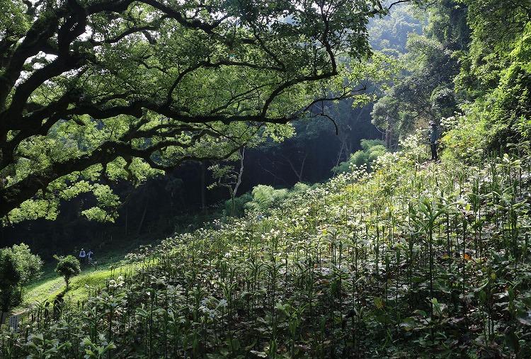 大楠の木の下一面にウバユリ 29.7.11