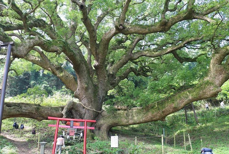 大楠の木 樹齢1000年 29.7.11
