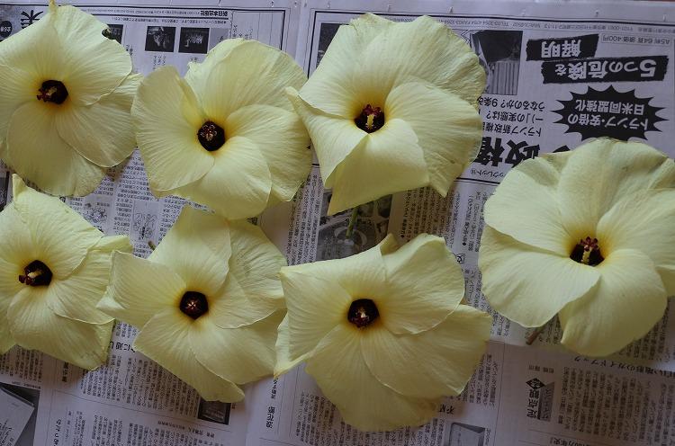 花オクラ、いっぱい 29.7.16