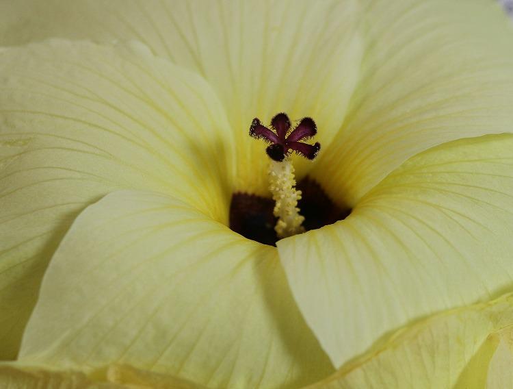 花オクラ大きい花 29.7.16