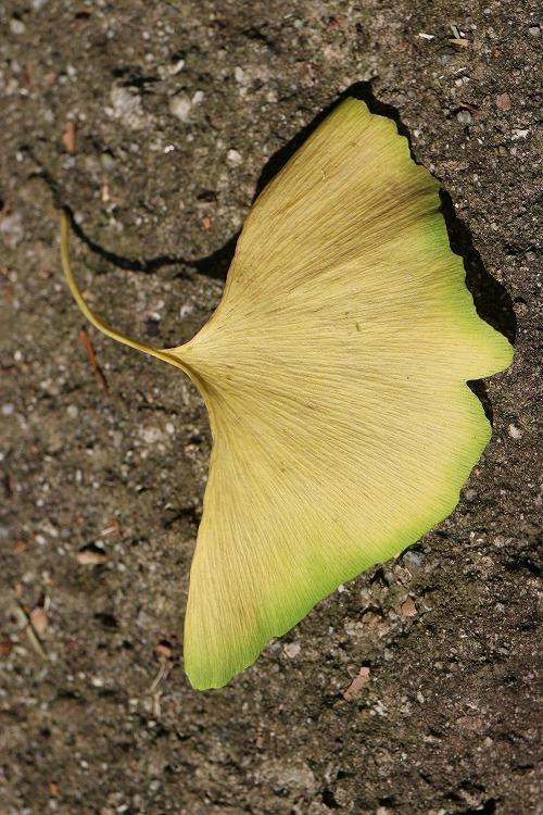 銀杏の黄色い葉 縦に 29.7.22