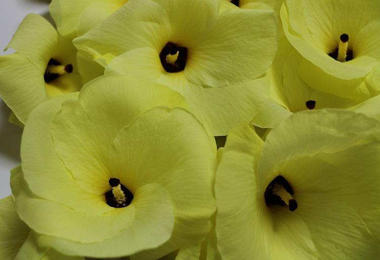 花オクラ 29.7.24