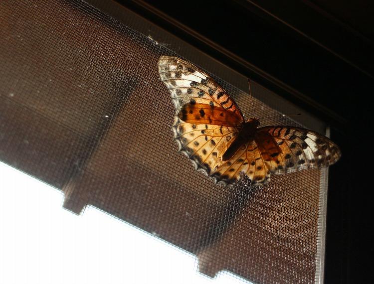 ツマグロヒョウモンメスが廊下に居る 29.7.30