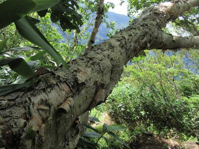IMG1485JPGダケカンバの大木