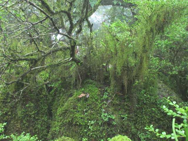 IMG1567JPGツゲに下がった苔が美しい