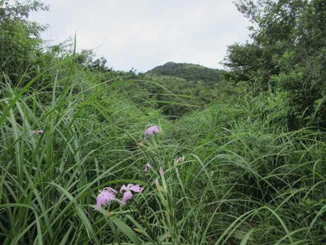 IMG1666JPG萱に覆われた福智平より山頂